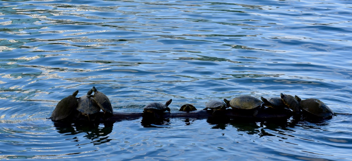 Turtle Friendships and Another Spring Haiku