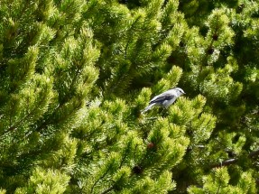 Gray Jay in a Pine Tree