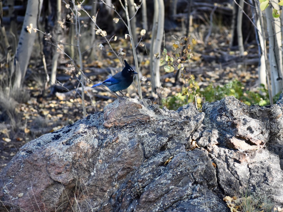Stellar's Jay on Rock