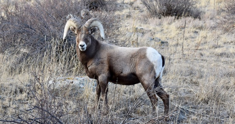 3 Haiku for a Bighorn Sheep