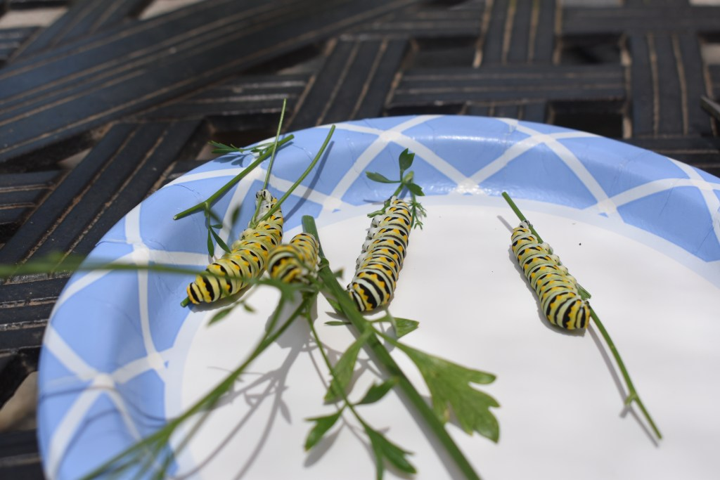 Caterpillars on a paper plate
