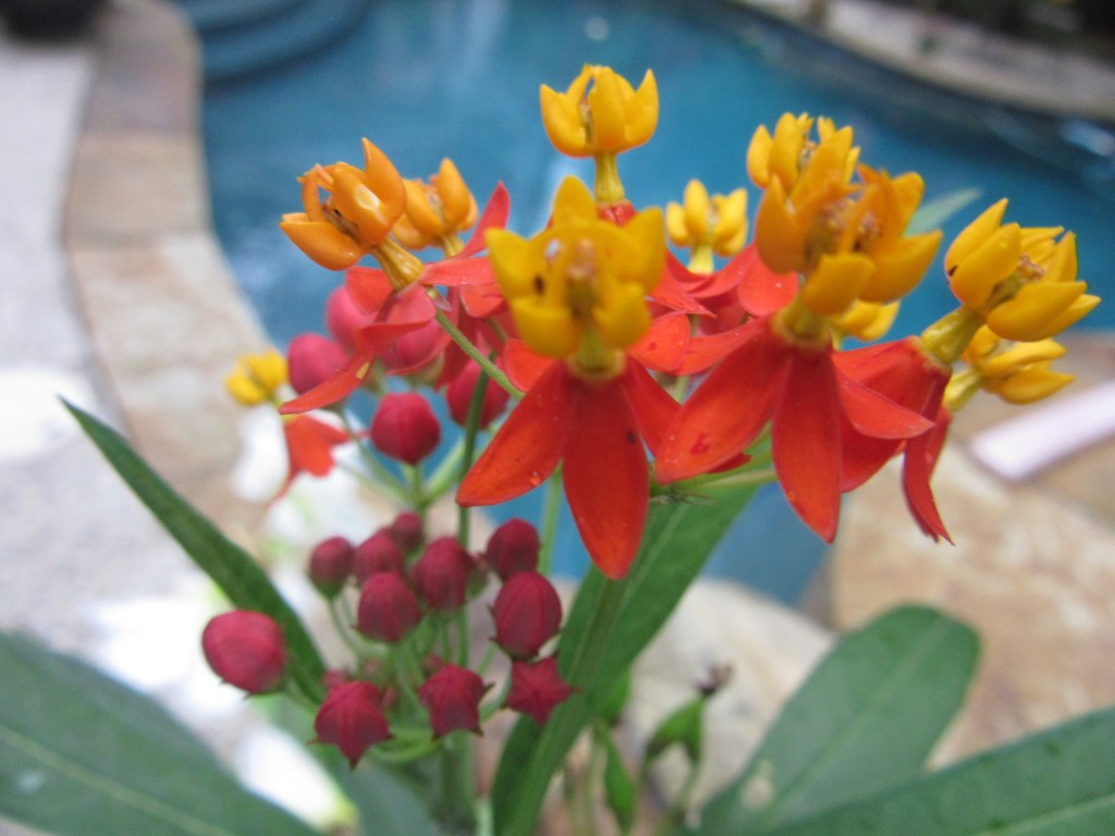 Close-up of butterfly weed in bloom