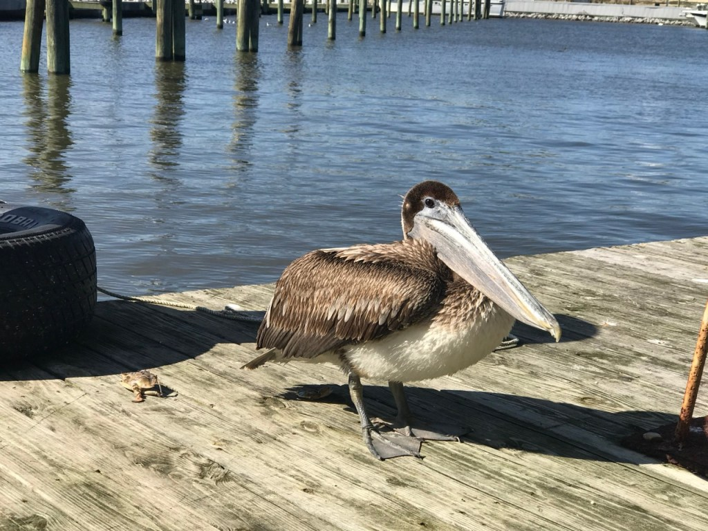 Brown pelican up close on dock