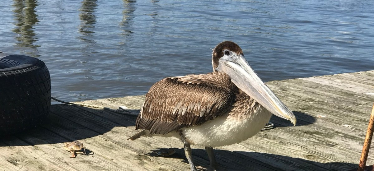 The Wary Pelican