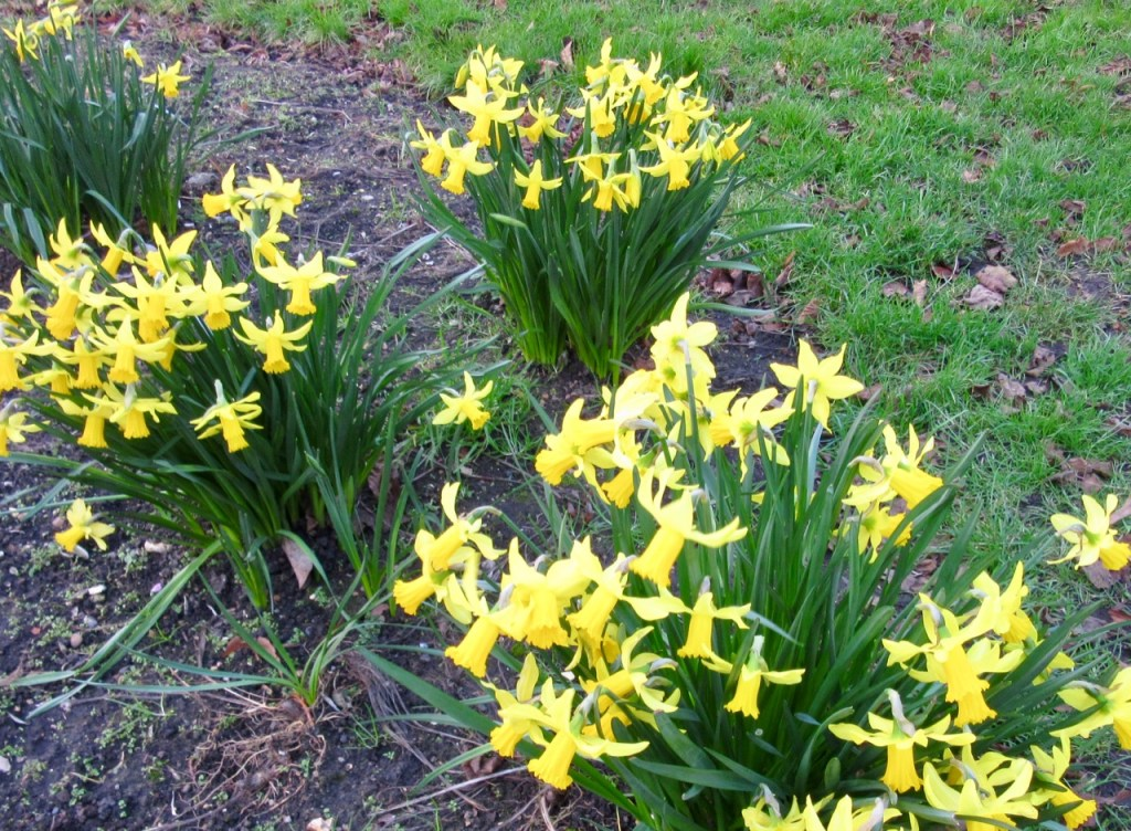 Dancing with daffodils Wordsworth's poem