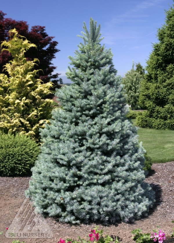 sester dwarf colorado spruce