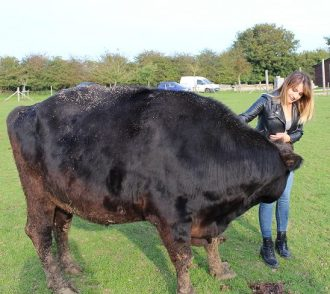 Deni with Archie, a disabled bullock who lives at Hugletts Farm Animal Sanctuary
