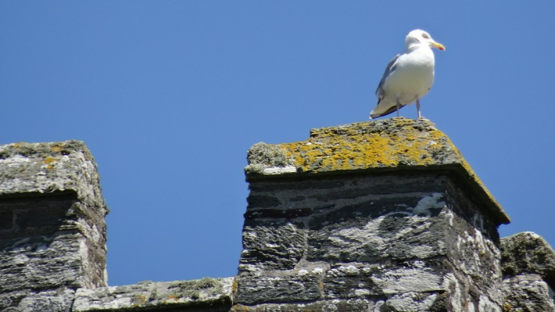 seagull perched, close up