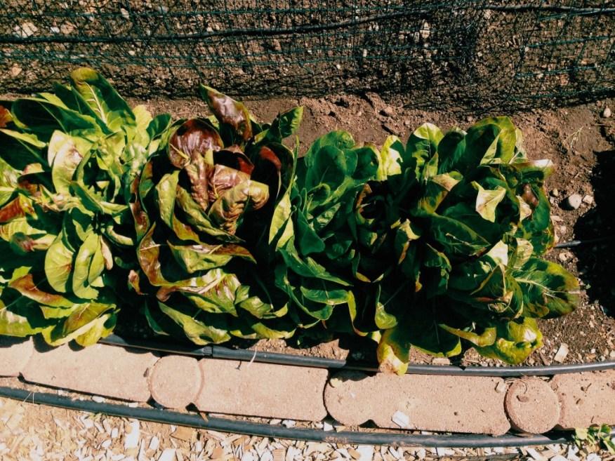 lettuces in Jo's garden