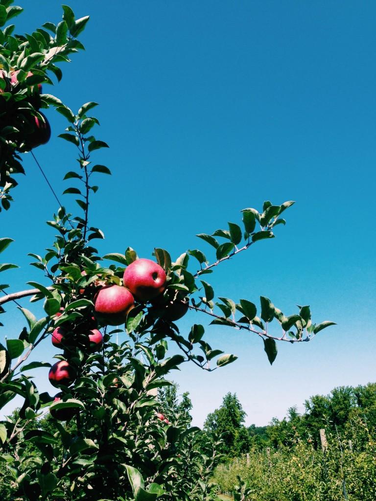 farms- apples