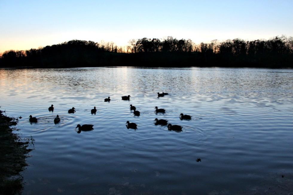 Ducks on Swan Lake