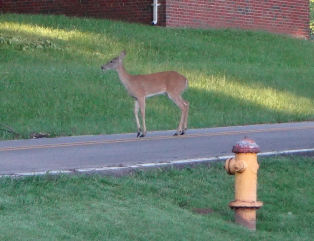 Deer at hydrant