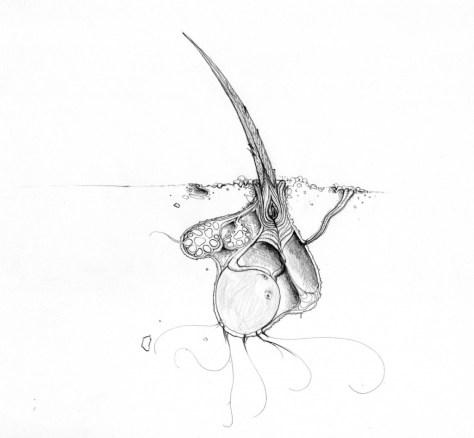 capellid