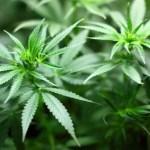 Dachowa – mini plantacja marihuany
