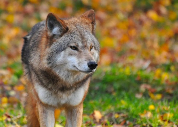 red and gray wolf