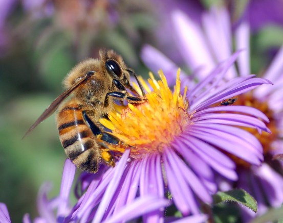 European honey bee extracts nectar in the field