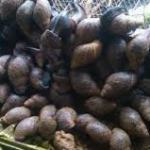 How To Start A Snail Farming Business In Nigeria And Snail Feeds