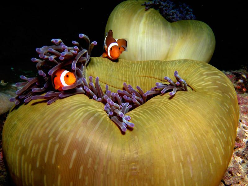clown-fish-borneo-diving