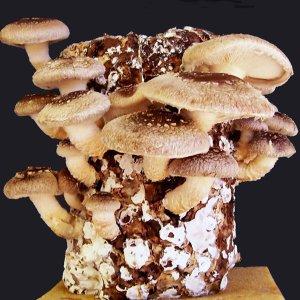 Indoor Shiitake Mushrooms Kit gmushrooms.org