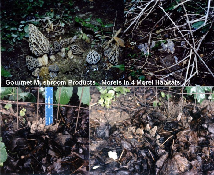Morels growing in four different Morel Habitats