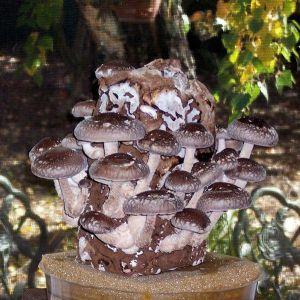 Shiitake Mushroom Log - gmushrooms.org