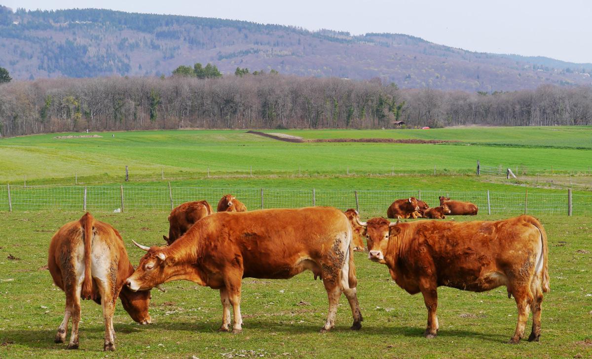 Swiss cattle