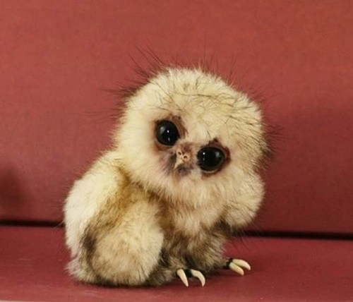 http://www.cutestpaw.com/images/baby-owl/