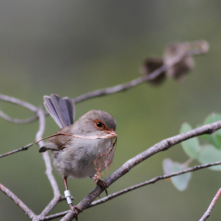 A female superb fairy-wren carrying nesting material.