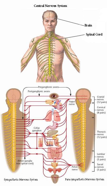 Sympathetic-Nervous-Systems