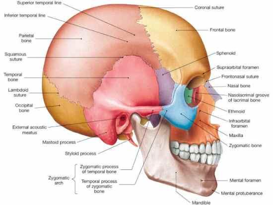 Skull 22 bones The Two Golden Cherubim in Our Brains