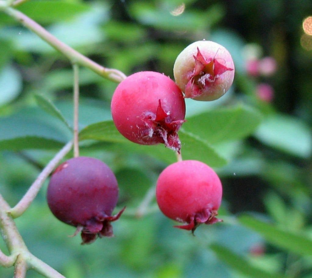 Downy Serviceberry Amelanchier Arborea Gnps