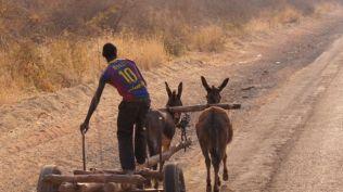 Donkeys being used as bullocks