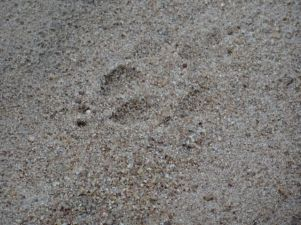 Cheetah footprints
