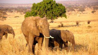 Elephant and babies