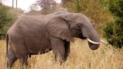 More elelephant