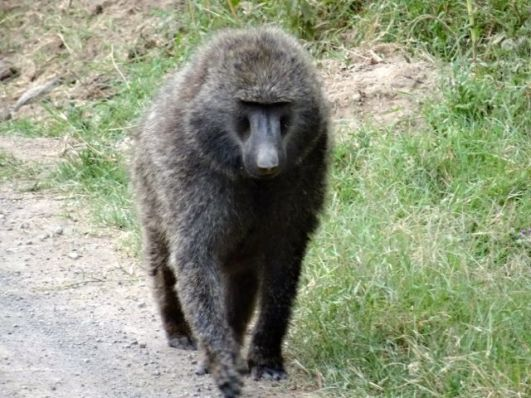 Father Baboon