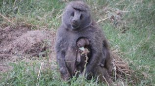 Baboon and child