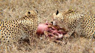 Cheetah's meal
