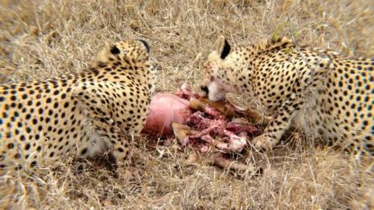 Cheetah's meal