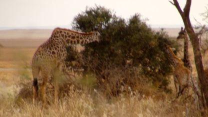 Giraffe along the way.