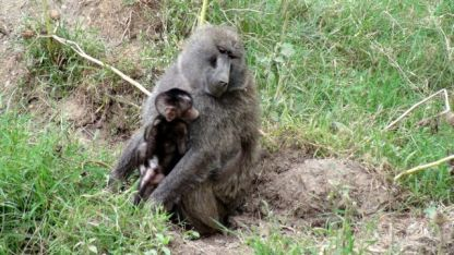 Baboon with babyThree