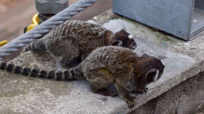 Monkeys at the half-way station.