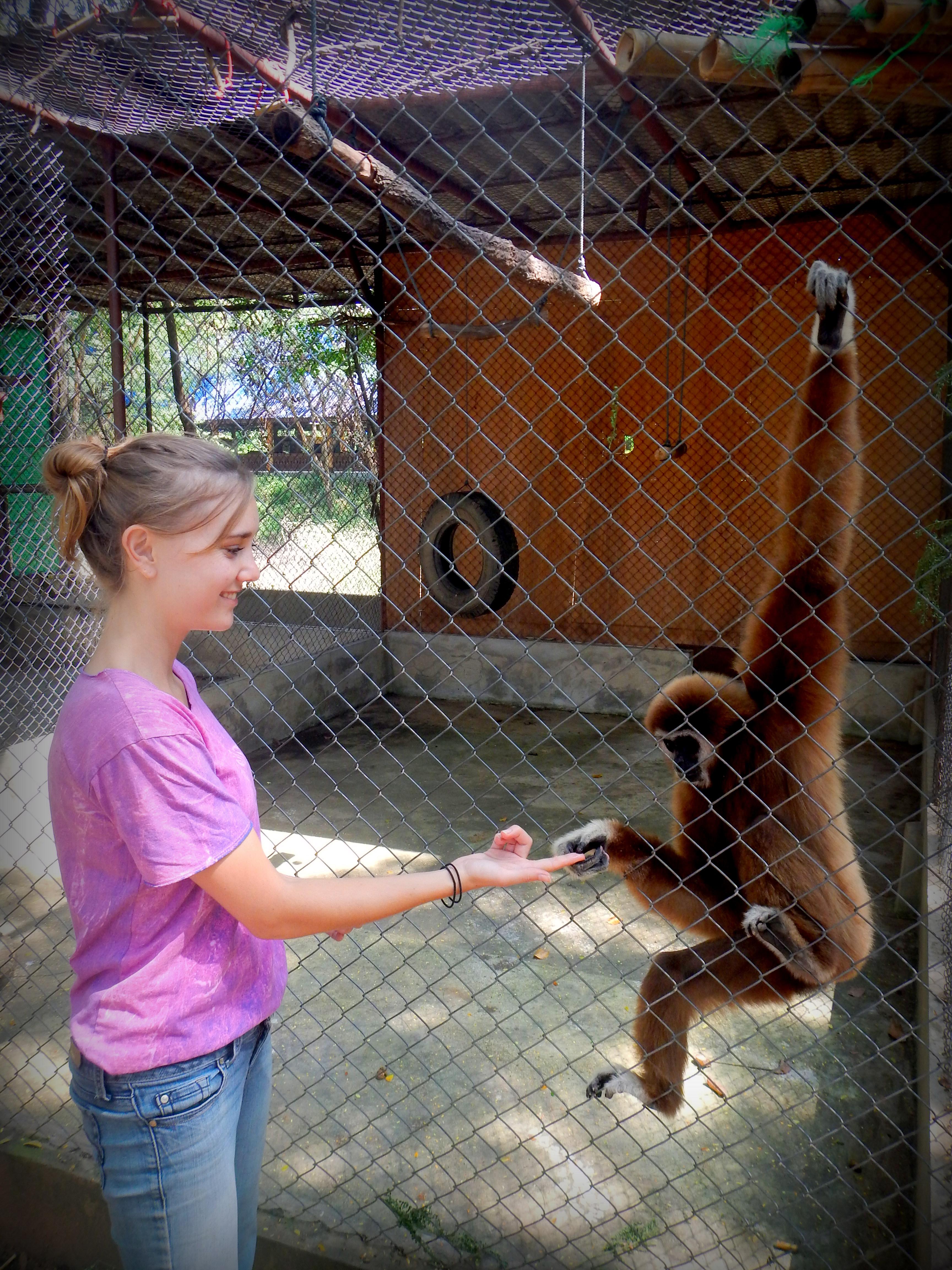 Chutney the Gibbon at the Safari Park Zoo Volunteer Program in Kanchanaburi, Thailand