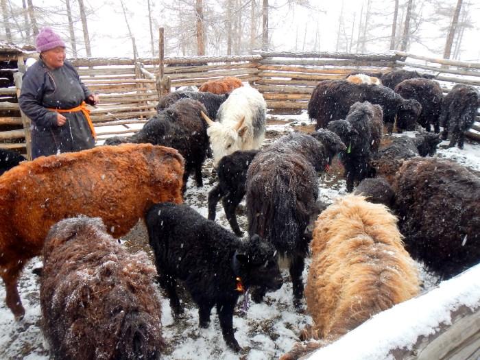 Ut, a nomadic Mongolian yak-herder, with her yaks
