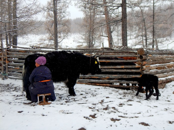 We stayed in the countryside with a yak-herder named Ut. This is Ut milking her yaks