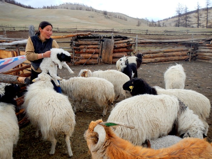 Our guide's (pregnant) wife, herding their goats. Northern Mongolia.