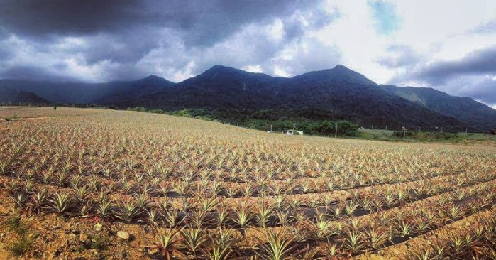 Pineapple fields in Pingtung County, Taiwan