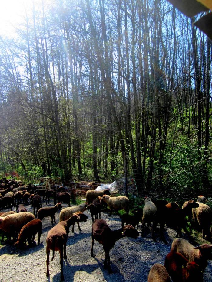 Working with the shepherds in Fürstenfeld, Austria