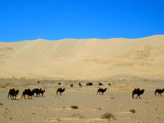 Wild camels in Khongoriin Els, Gobi, Mongolia