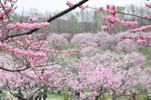 Plum trees at Sapporo